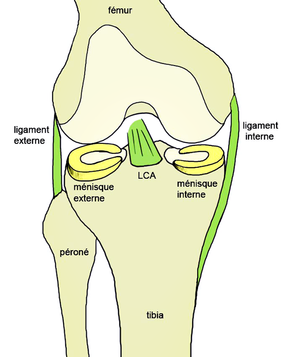 anatomía - RODILLA - generalidad
