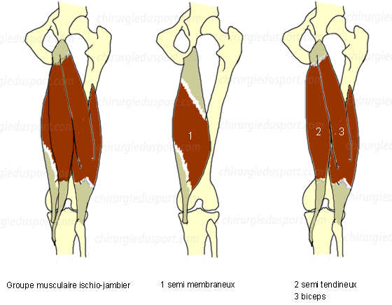 anatomía - HIP - tendón - Anatomía del tendón de la corva grupo ...